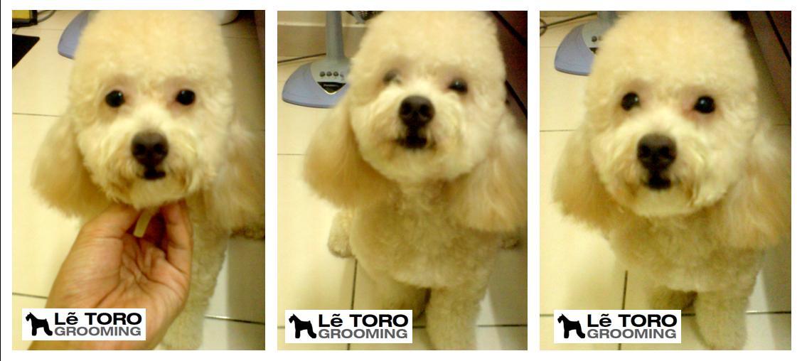 L Toro Grooming Studio Poodle Grooming