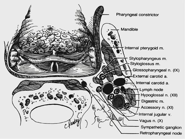 parapharyngeal space boundaries in dating