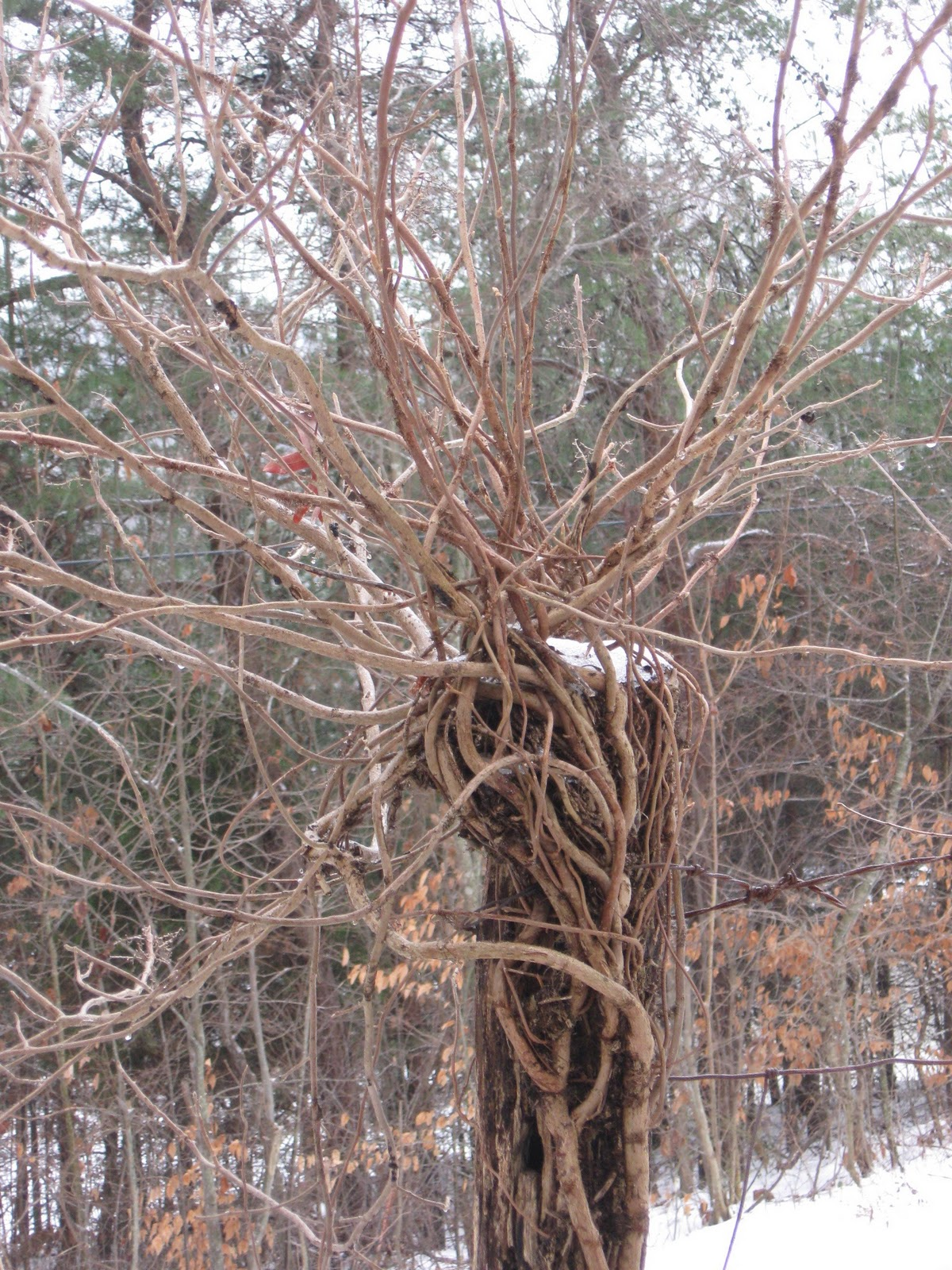 What does poison ivy look like in the winter