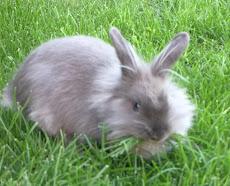 Los conejos en el continente australiano