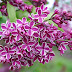 Beautiful and Aromatic Lilacs Flower