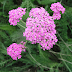 Yarrow Colorful Tiny Flowers