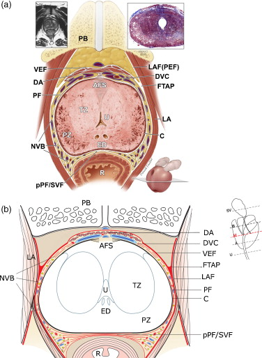 International University Prostate Anatomy