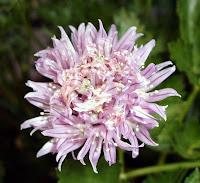 Flor do Cebolinho