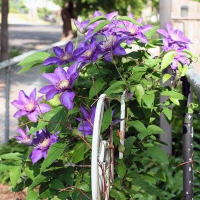 purple clematis.