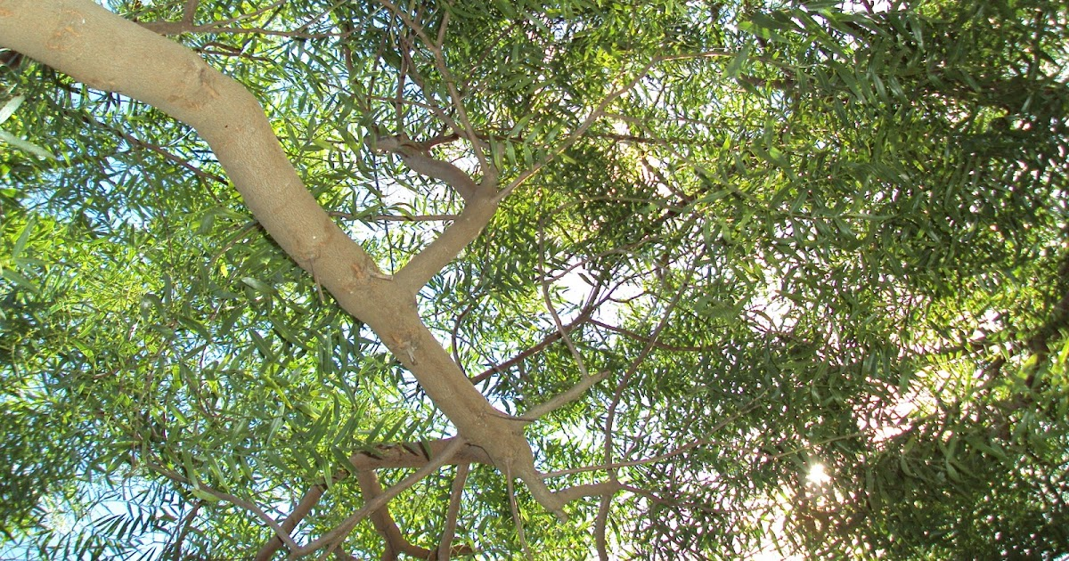 Los invito a pasear por mi jard n por qu plantamos for Arboles que dan sombra para jardin