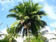Belajar dari  pohon kelapa....
