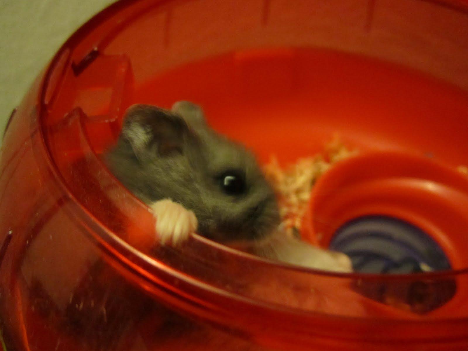 ... pregnant dwarf hamster, pregnant pet, russian dwarf hamster