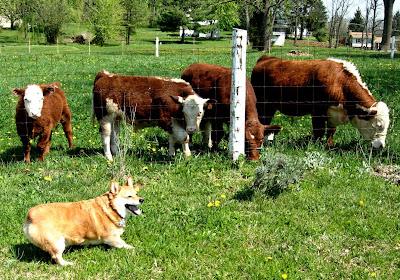corgi herding cows