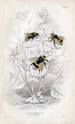 natural history images bumble bee