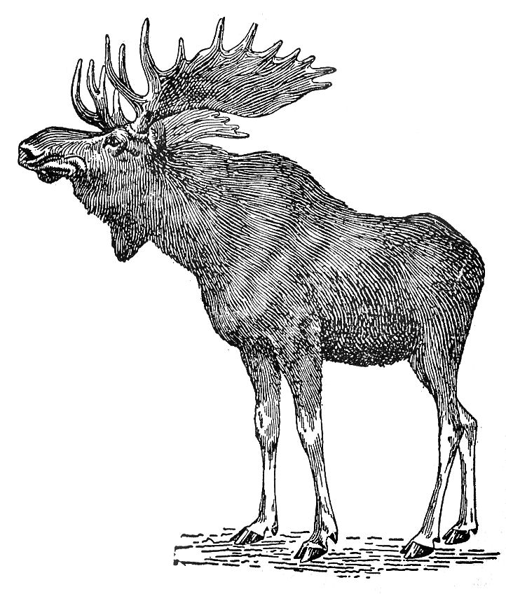 Moose Anatomy Diagram http://pics2.imagezone.org/key/moose%20anatomy