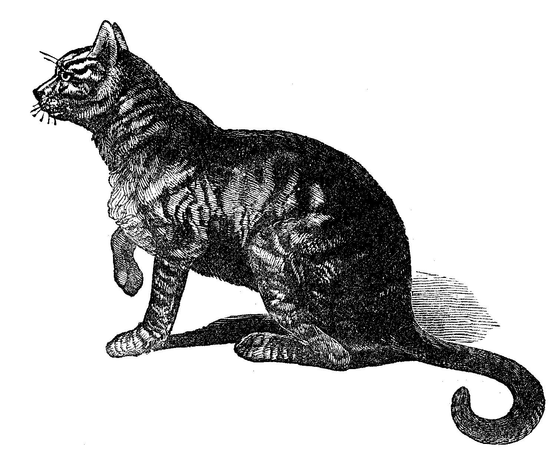 Maltese cat pictures