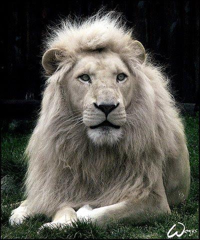 White Lion Roar Wallpaper Tudo O Que Sei