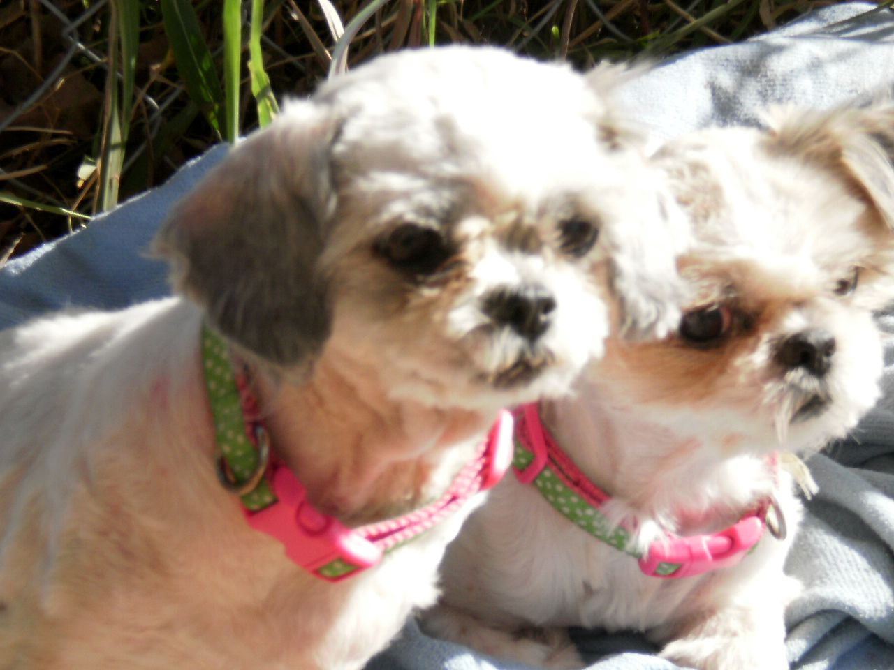 This Is John And Yoko Two Young Zus Roximately Years Old They Came To Us From A Rescuer Who Got Them Breeder