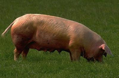 ... Caso de violación de cerdo, en Chillan, fiscalía califica el hecho