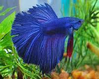Sometypes of betta fish lawok lepas for Different types of betta fish