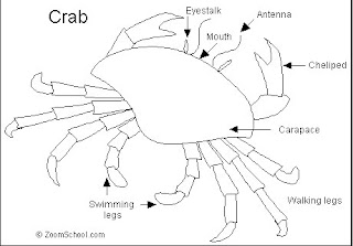 crab especially a guest crab but to register awe at its ability to    Crab Diagram