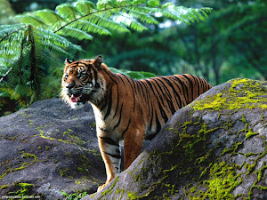 Mighty One, Sumatran Tigar Images, Picture, Photos, Wallpapers