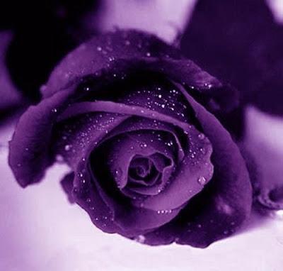 ����� ������ ������ �evanov Violet_Roses.jpg