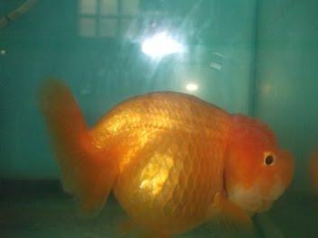 ปลาทองตัวแม่ของผม
