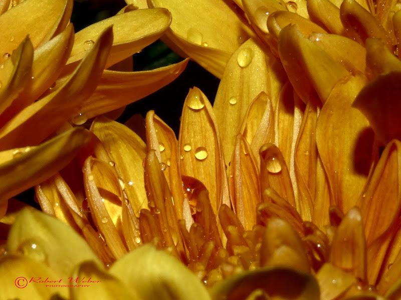 Golden Crisantemum