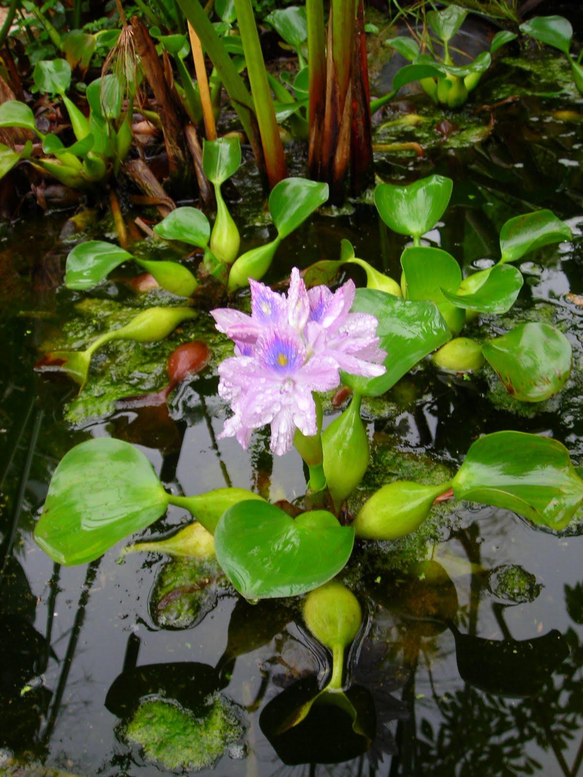 El jard n de sa possessi plantas acu ticas en sa possesi for Jardin de invierno sa