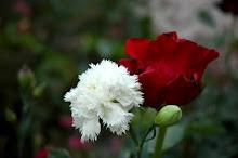 Que el clavel y la rosa