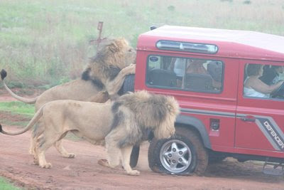 Lions attack on car - Rare Photos