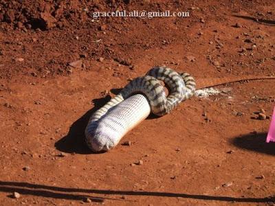 Snake eat Lguanu