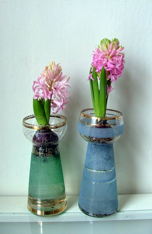 How To Grow Hyacinths In Glass Vasercing Hyacinth Bulbs For