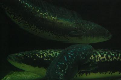 Aquarium xian leng