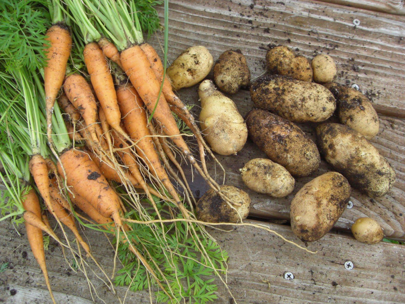 Gleeza: Apples, Potatoes and Carrots