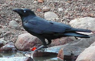 [bris+crow+2.jpg]