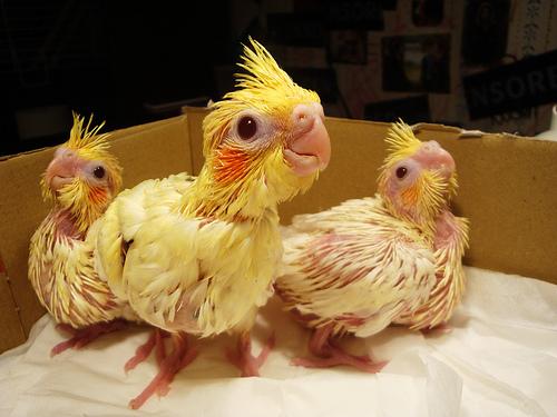 Cute baby cockatiel - photo#2
