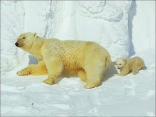 Contaminación pone en riesgo al oso polar