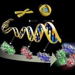 Reprograman células con diminutos círculos de ADN que no se integran en el genoma
