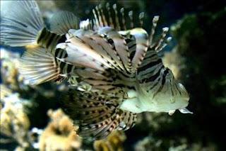 Preocupación en unas islas colombianas por el hallazgo de un pez depredador y venenoso. EFE