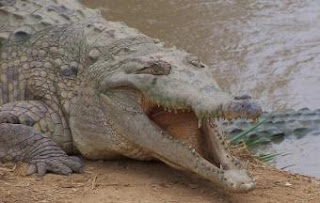 Ejemplar de caimán del Orinoco. ASOCIACIÓN CHELONIA