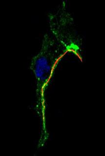 Así se forman los capilares. CSIC