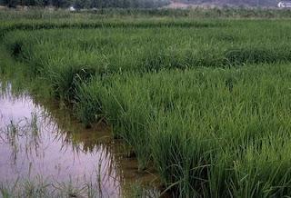 La domesticación del arroz culminó hace 7.000 años