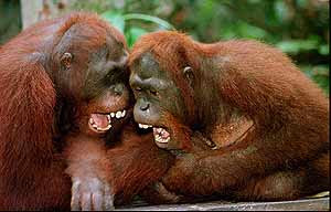 Los seres humanos comparten un ancestro común con los orangutanes