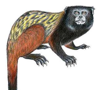 Ilustración de la nueva especie de Tamarín. Foto: Reuters