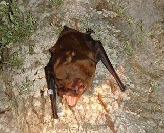 Murciélago Nyctalus lasiopterus en la actualidad. A.G. Popa-Lisseanu et al.