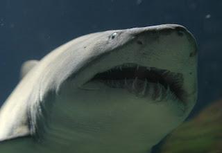 La crisis de los tiburones