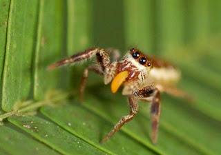 Araña Bagheera kiplingi. / Current Biology