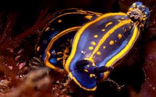 nudibranquios encontrados en la isla Coelleira de la ría de Viveiro. CARLOS SUÁREZ / OCEÁNA