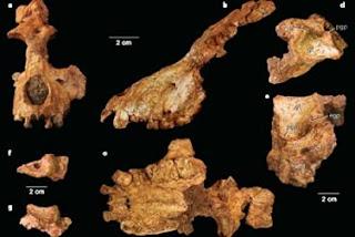 Saadanius hijazansis retrasa la divergencia entre la rama de los grandes primates. Nature