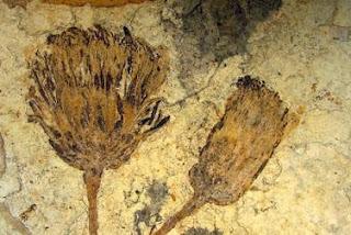 Fósil de la famila de los girasoles encontrado en la Patagonia . Science/AAAS