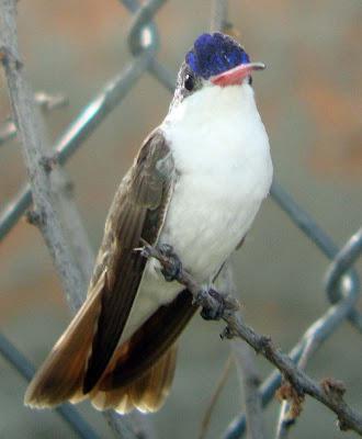 Birdernaturalist: Violet-crowned Hummingbirds