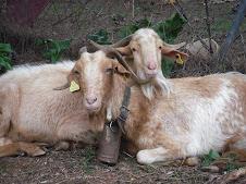 cabra macho y hembra